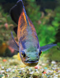 Astronotus ocellatus close up Stock Photography