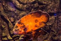 Astronotus ocellatus del pesce di Oscar che nuota underwater immagini stock libere da diritti