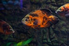 Oscar fish close up. Astronotus ocellatus floating in aquarium. Oscar fish royalty free stock photos