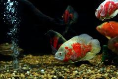 Astronotus ocellatus or oscar fish fish. In the aquarium stock image