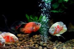 Astronotus ocellatus or oscar fish. In the aquarium royalty free stock photos