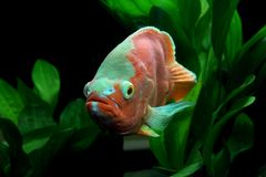 Astronotus ocellatus or oscar fish. In the aquarium royalty free stock photography