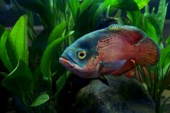 Astronotus ocellatus or oscar fish. In the aquarium royalty free stock image