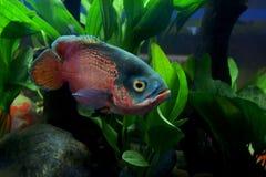 Astronotus ocellatus or oscar fish. In the aquarium stock images
