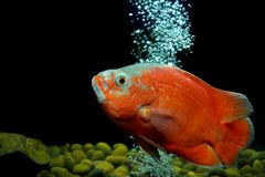 Astronotus ocellatus or oscar fish. In the aquarium stock photography