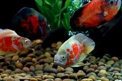 Astronotus ocellatus or oscar fish. In the aquarium stock image
