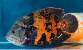 Astronotus ocellatus Oscar fish. The aquarium fish. Whose species naturally resides is In tropical South America stock images