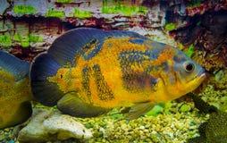 Astronotus ocellatus. Oscar fish Astronotus ocellatus swimming. Underwater stock photo