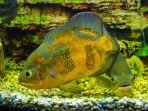 Astronotus ocellatus. Oscar fish Astronotus ocellatus swimming. Underwater stock images