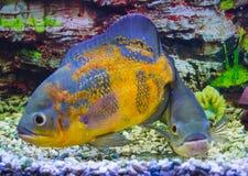 Astronotus ocellatus. Oscar fish Astronotus ocellatus swimming. Underwater royalty free stock image