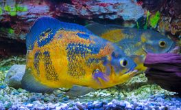 Astronotus ocellatus. Oscar fish swimming underwater stock photography