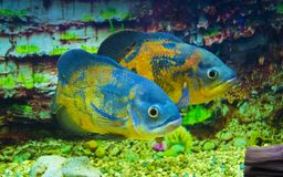 Astronotus ocellatus. Oscar fish swimming  underwater. Astronotus ocellatus. Oscar fish swimming underwater royalty free stock images