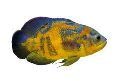 Astronotus ocellatus Simning för Oscar fiskAstronotus ocellatus arkivfoton