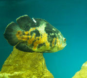 Astronotus ocellatus Royalty Free Stock Images