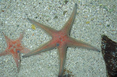 Astropecten Aranciacus Starfish Royalty Free Stock Image