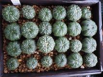 Astrophytum地毯 免版税库存照片