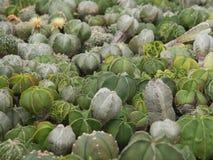 Astrophytum asterias 库存图片