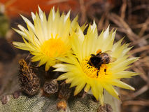 Astrophytum and the bumble-bee Stock Photography