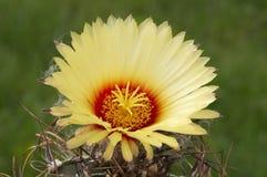 Astrophytum capricorne. Royalty-vrije Stock Fotografie