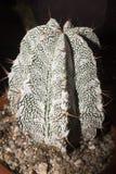 Astrophytum coahuilensekakturs royaltyfri fotografi