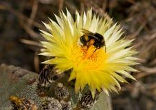 Astrophytum e o zangão Foto de Stock Royalty Free