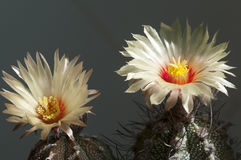 Astrophytum flower Royalty Free Stock Photography