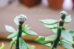 Astrophytum greffé sur le pereskiopsis Image stock