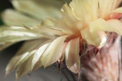 Astrophytum kwiat zdjęcia royalty free