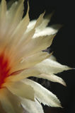 Astrophytum kwiat Obraz Royalty Free