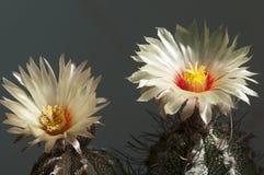 Astrophytum kwiat Fotografia Royalty Free