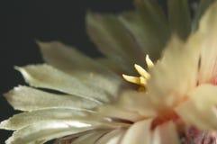 Astrophytum kwiat zdjęcia stock