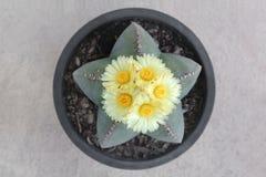Astrophytum myriostigma Cactus  with five yellow flowers. Stock Photos