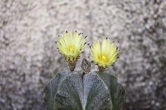 Astrophytum myriostigmakaktus i blom Arkivfoton