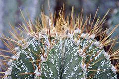 Astrophytum Ornatum,罗马Museo Orto Botanico二罗马植物园  皇族释放例证