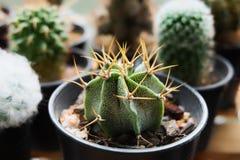Astrophytum ornatum f meztitlan Kaktus på den plast- krukan Tolerant växt för torka royaltyfri fotografi