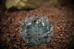 Astrophytum sp., Cactus in garden has a brown stone around, Cacti, Cactaceae, Succulent, Tree, Drought tolerant plant. Astrophytum sp., Cactus in garden has a stock photography