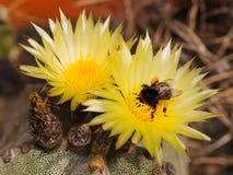 Astrophytum y el abejorro Fotografía de archivo
