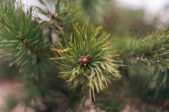 Astuce de la branche de pin photo libre de droits