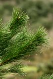 Astuce des branches d'un pin dans une forêt photo stock