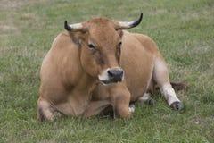 Asturian cow breed Stock Image