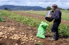 Asturias. Farmer picking potatoes GRANDAS DE SALIME Asturias  SPAIN Stock Photo