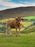 Asturias krowa Zdjęcie Royalty Free