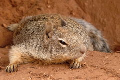 Astute squirrel. Squirrel pose with astute loook Royalty Free Stock Photography