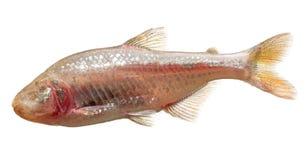 Astyanax fasciatus mexicanus Royalty Free Stock Photography
