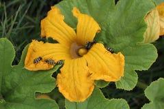 Astylus variegatus on pumpkin flower. Astylus variegatus, beetle pest, on pumpkin flower Stock Photos