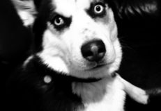 Asuka Dog images libres de droits