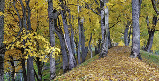 Asveja Regional Park. Footpath in beautiful autumn park in 'Asveja Regional Park' in the Lithuania Stock Images