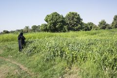 Nubian woman picking up plant leaves, Nile river bank royalty free stock photos