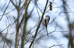 A cute Long-tailed Tit Aegithalos caudatus hunting for insects to feed on in a bush on a cold and frosty autumn day. Asweet Long-tailed Tit Aegithalos caudatus Royalty Free Stock Image