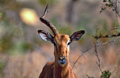 Asymmetry. A wounded Impala (Aepyceros melampus) with a single horn, photographed in Kruger National Park - South Africa Royalty Free Stock Image